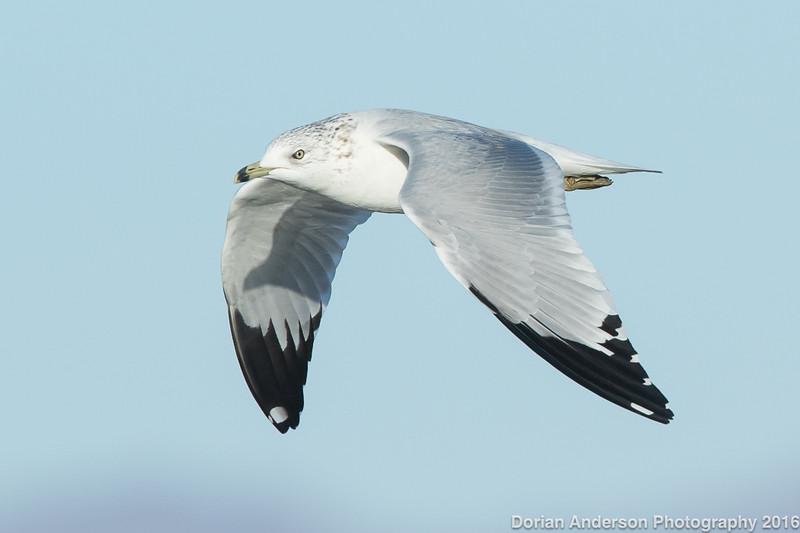 Ring-billed Gull (adult winter)