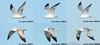 Ring-billed Gull flight composite