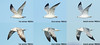 Ring-billed Gull flight composite
