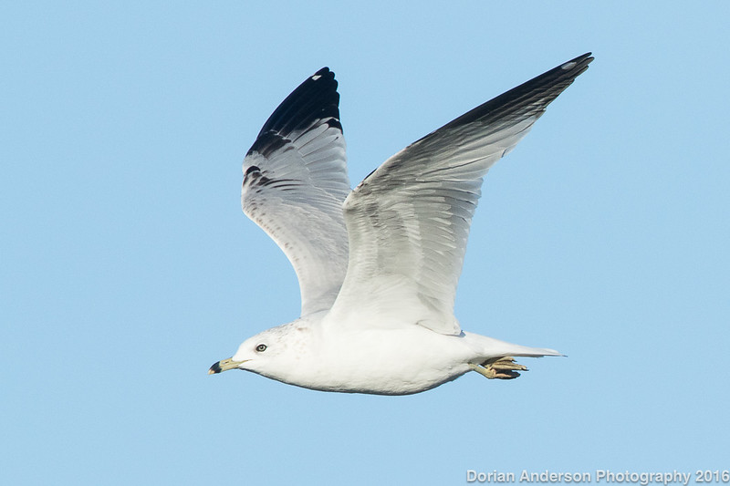 Ring-billed Gull (2nd winter)