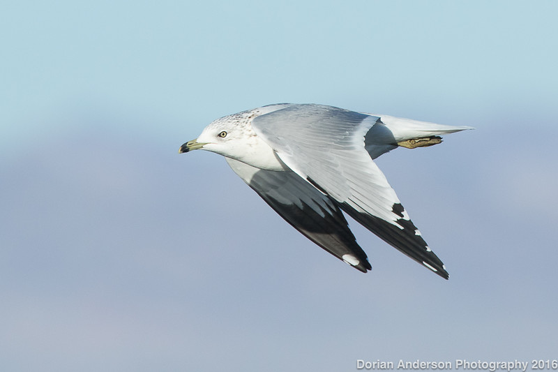 Ring-billed Gull (adult winter)