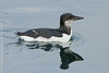 Thick-billed Murre