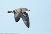 Western Gull - juvenile