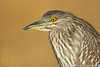 Black-crowned Night-Heron (immature)
