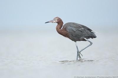 Herons, Egrets, Ibises, Spoonbills, Storks