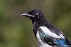 Black-billed Magpie - Juvenile