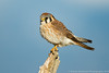 American Kestrel - female
