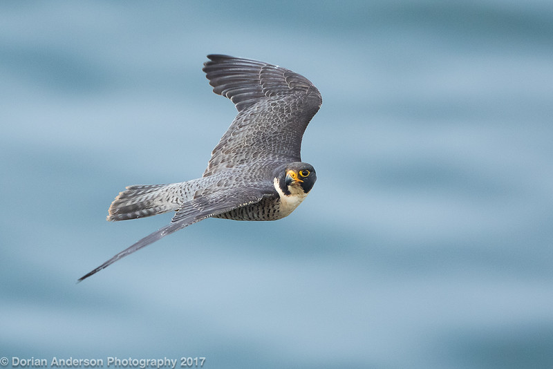 Peregrine Falcon (1 in series of 6)