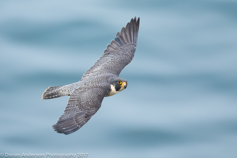Peregrine Falcon (3 in series of 6)