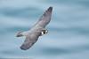 Peregrine Falcon (3 in series of 6)