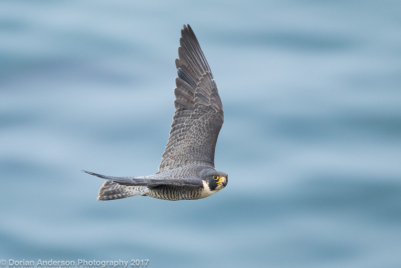 Peregrine Falcon (4 in series of 6)