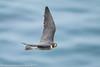 Peregrine Falcon (4 in series of 6)