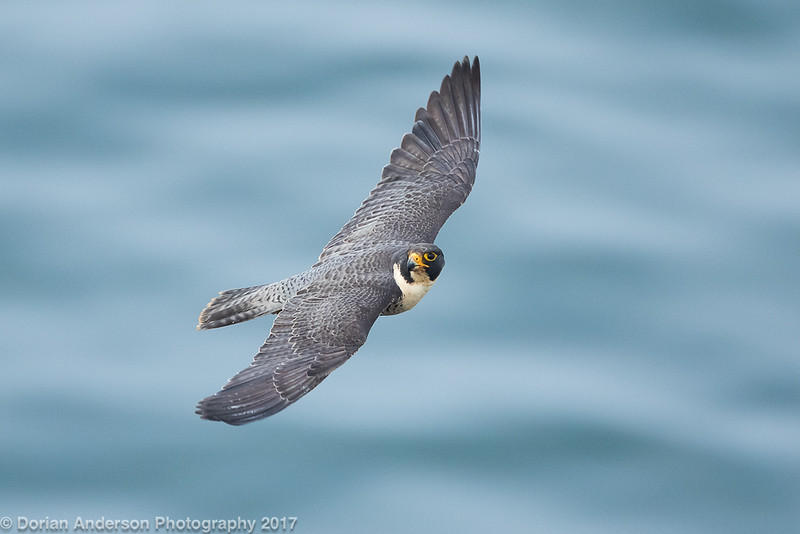 Peregrine Falcon (2 in series of 6)