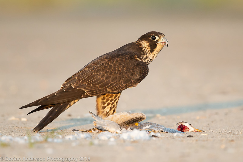Peregrine Falcon - Juvenile eating fledgling Common Tern