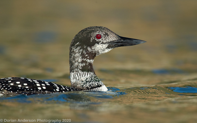 Common Loon (molting)