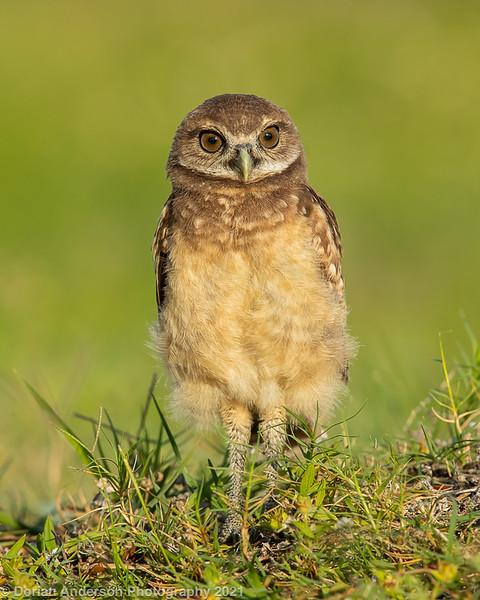 Burrowing Owl - fledgling