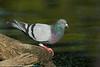 Rock Dove (pigeon!)