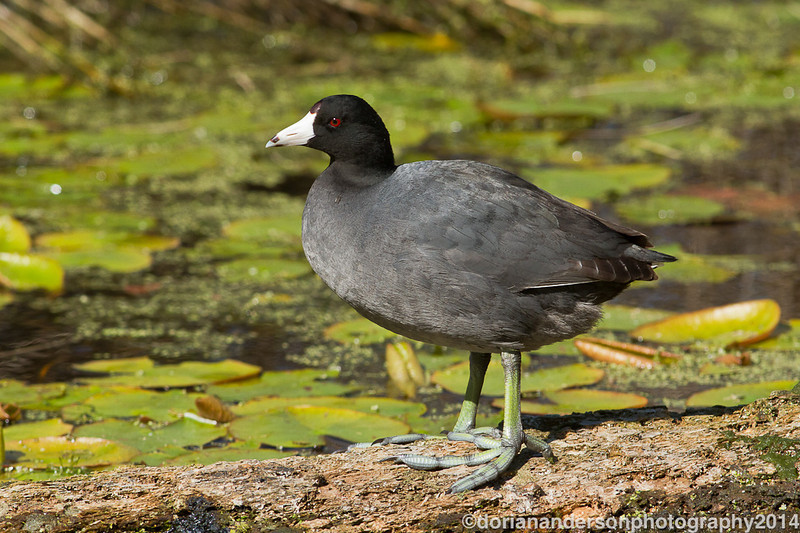 American coot, St. Mark's NWR, St. Mark's, Florida, 3/25/14<br /> Canon 400mm f/5.6 on EOS 7D<br /> 1/1250 at f/8, ISO 640