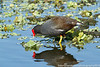 Common gallinule, Green Cay Nature Center Delray Beach, Florida, 3/2/14<br /> Canon 400mm f/5.6 on EOS 7D<br /> 1/1250 at f/8, ISO 640