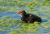 Common gallinule chick, Green Cay Nature Center Delray Beach, Florida, 3/2/14<br /> Canon 400mm f/5.6 on EOS 7D<br /> 1/1000 at f/8, ISO 640