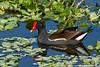Common gallinule, Wakodahatchee Wetlands, Delray Beach, Florida, 3/1/14<br /> Canon 400mm f/5.6 on EOS 7D<br /> 1/2500 at f/7.1, ISO 640