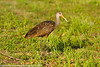 Limpkin, Delray Beach, Florida, 3/3/14<br /> Canon 400mm f/5.6 on EOS 7D<br /> 1/640 at f/8, ISO 640