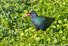 Purple gallinule, Wakodahatchee Wetlands, Delray  Beach, Florida, 3/1/14<br /> Canon 400mm f/5.6 on EOS 7D<br /> 1/2000 at f/7.1, ISO 640
