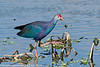 Purple swamphen, Green Cay Nature Center, Delray Beach, Florida, 3/2/14<br /> Canon 400mm f/5.6 on EOS 7D<br /> 1/2500 at f/8, ISO 640