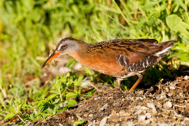 Virginia rail, Great Meadows NWR, Concord, Massachusetts, 6/15/13<br /> Canon 500mm f/4 IS + 1.4x III on EOS 1D Mark IV<br /> 1/640 at f/8, ISO 400