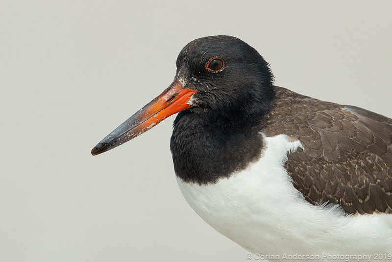American Oystercatcher - fledgling