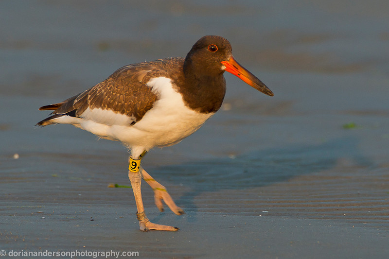 American Oystercatcher fledgeling