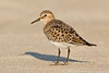 Baird's sandpiper, Sandy Point, Plum Island, Massachusetts 8/17/13<br /> Canon 500mm f/4 IS + 1.4x III on EOS 1D Mark IV<br /> 1/2000 at f/8, ISO 400