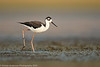 Black-necked Stilt (juvenile)