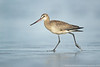 Hudsonian Godwit (1 in series of 2)