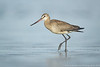 Hudsonian Godwit (2 in series of 2)