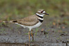 Killdeer, Topsfield, Massachusetts, 3/24/12<br /> Canon 500mm f/4 + 1.4x on EOS 7D<br /> 1/250 at f/5.6, ISO 400