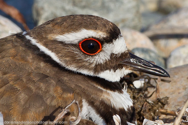 Killdeer (on nest), Allen's Pond, Westport, Massachusetts, 5/19/12<br /> Canon 500mm f/4 on EOS 1D Mark IV<br /> 1/640 at f/13, ISO 400