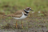 Killdeer, Topsfield, Massachusetts, 3/24/12<br /> Canon 500mm f/4 + 1.4x on EOS 7D<br /> 1/250 at f/8, ISO 400