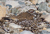 Killdeer (on nest), Allen's Pond, Westport, Massachusetts, 5/19/12<br /> Canon 400mm f/5.6 on EOS 1D Mark IV<br /> 1/250 at f/8, ISO 1600