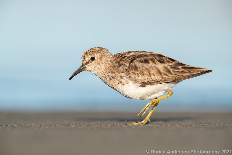 Least Sandpiper (winter plumage)