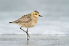 Pacific Golden-plover