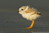 Piping Plover chick,