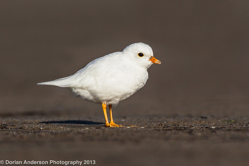 Leucistic Piping Plover