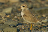 Piping Plover fledgeling,