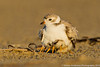Piping plover w/ chicks,