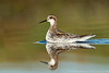 Red-necked Phalarope (breeding male)