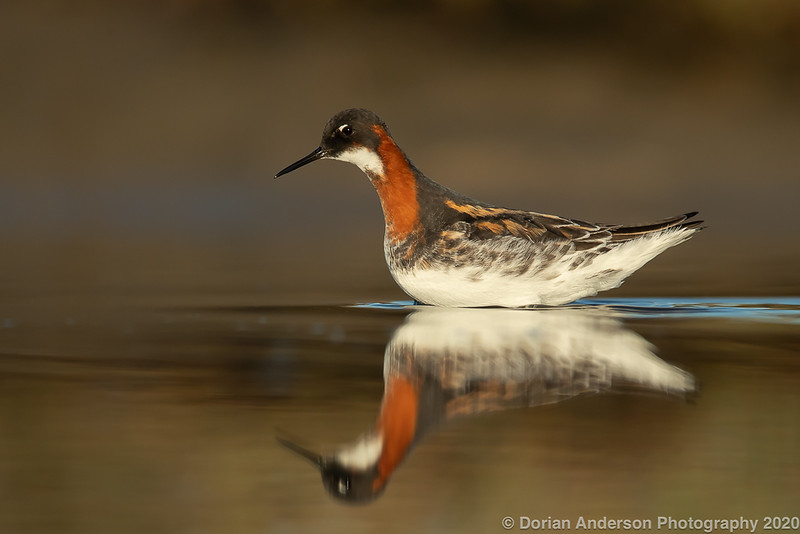 Red-necked Phalarope (breeding female)