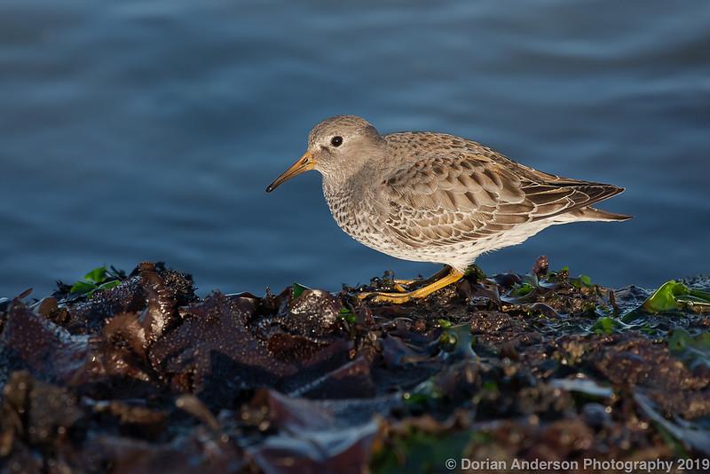 Rock Sandpiper (winter plumage)