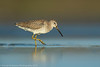 Short-billed Dowitcher (1 in series of 2)