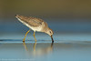 Short-billed Dowitcher (2 in series of 2)